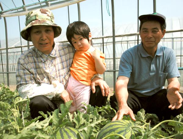 大玉スイカの本格栽培