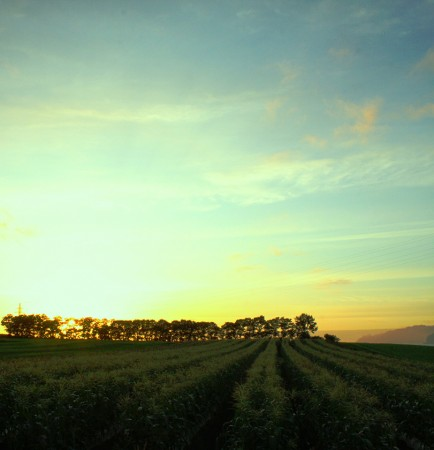 夕日に染まるスィートコン畑
